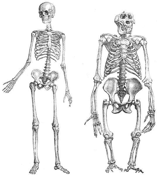 Human vs Hominid skeleton comparison
